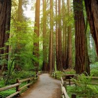 Redwood trees in Muir Forest near San Francisco